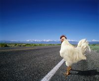 Chicken_road_cross